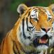 Настенный перекидной календарь с фотографиями тигров на 2022 г, купить оптом и в розницу.
